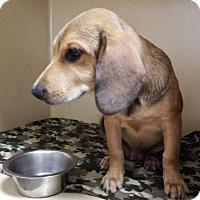 Adopt A Pet :: Hank - Lincolnton, NC