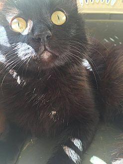 Domestic Longhair Cat for adoption in Everett, Washington - Po