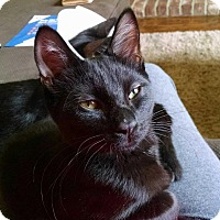 Domestic Shorthair Kitten for adoption in Keller, Texas - Vanna