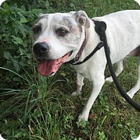 Pit Bull Terrier Mix Dog for adoption in Indianapolis, Indiana - Dot