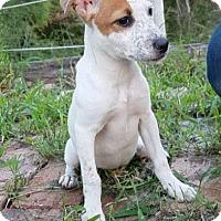 Australian Cattle Dog/Labrador Retriever Mix Puppy for adoption in Houston, Texas - Emma