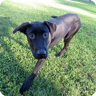 Labrador Retriever Mix Dog for adoption in Janesville, Wisconsin - Curly