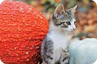 Domestic Shorthair Kitten for adoption in Nashville, Tennessee - Fili