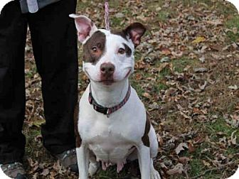 Pit Bull Terrier Dog for adoption in Scotia, New York - RUBY
