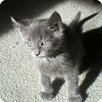 Domestic Shorthair Kitten for adoption in Kirkwood, Delaware - Blue Boy