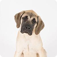 Mastiff Puppy for adoption in St. Louis Park, Minnesota - Tank