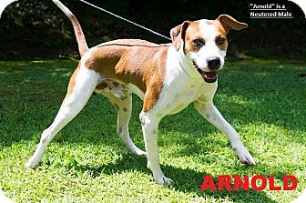 Hound (Unknown Type) Mix Dog for adoption in Broadway, New Jersey - Arnold