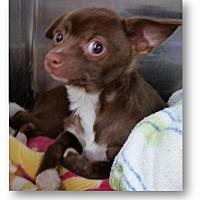 Adopt A Pet :: Handstand - Oakland Park, FL