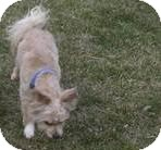 Papillon/Bichon Frise Mix Dog for adoption in Laingsburg, Michigan - Duffy
