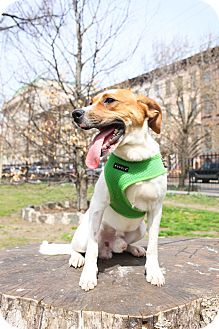 Pointer Mix Puppy for adoption in Jersey City, New Jersey - Mitchell Prichett
