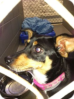 Miniature Pinscher/Chihuahua Mix Dog for adoption in Fort Riley, Kansas - Trudy
