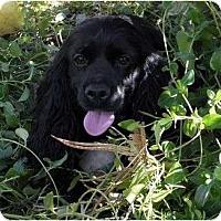 Adopt A Pet :: Bella 3 - San Diego, CA