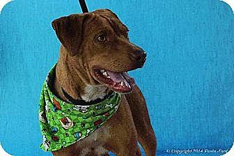 Pit Bull Terrier/Labrador Retriever Mix Dog for adoption in Elizabeth City, North Carolina - Baron
