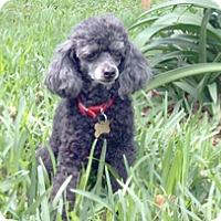 Adopt A Pet :: TRINKA - Melbourne, FL