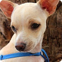 Adopt A Pet :: Tony - Surprise, AZ