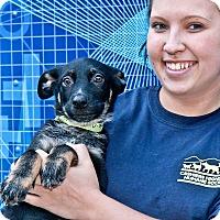 Adopt A Pet :: Sam - Cashiers, NC