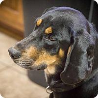 Adopt A Pet :: Dakota - Jackson, TN
