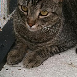 Photo 1 - Domestic Shorthair Cat for adoption in Orlando, Florida - Tabby Von Cuteness (KLL)