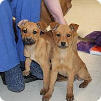 Adopt A Pet :: Fawn and Felicia - Willingboro, NJ