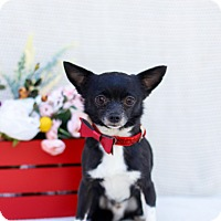Adopt A Pet :: Peter - Loomis, CA