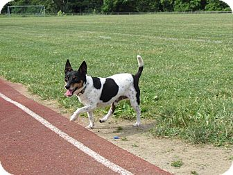 Jack Russell Terrier/Rat Terrier Mix Dog for adoption in Mohegan Lake, New York - Meatball