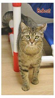"Domestic Shorthair Cat for adoption in Shippenville, Pennsylvania - Bobcat ""Bobbi"""