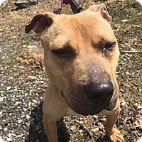 Adopt A Pet :: Blaze - East McKeesport, PA