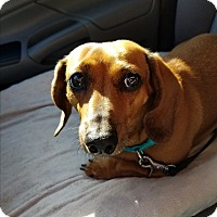 Adopt A Pet :: Junia - Decatur, GA