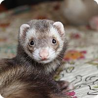 Ferret for adoption in Chantilly, Virginia - Latte