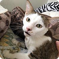 Domestic Shorthair Kitten for adoption in Colmar, Pennsylvania - Robby