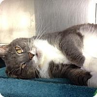 Adopt A Pet :: Majel-declawed - Voorhees, NJ