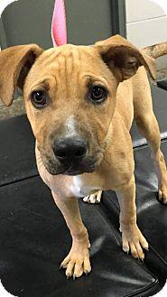 Pit Bull Terrier/Shepherd (Unknown Type) Mix Puppy for adoption in Newcastle, Oklahoma - Apollo