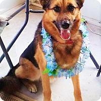 Adopt A Pet :: Shep - Citrus Springs, FL