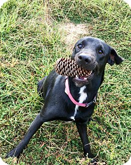 Labrador Retriever Mix Dog for adoption in Portsmouth, New Hampshire - PIXIE