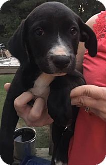 Labrador Retriever/Pointer Mix Puppy for adoption in Arlington, Massachusetts - Abel