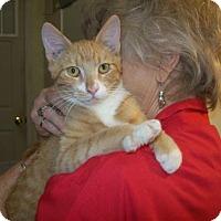 Manx Kitten for adoption in Picayune, Mississippi - Phoenix