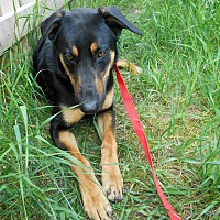 Doberman Pinscher/German Shepherd Dog Mix Dog for adoption in Palmyra, Nebraska - Chief