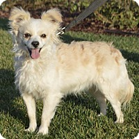 Adopt A Pet :: Cotton O'Grady - Palo Alto, CA