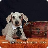 Adopt A Pet :: Gary Cooper - Las Vegas, NV