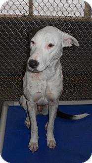 Pointer/Pit Bull Terrier Mix Dog for adoption in Leesburg, Virginia - Sunshine