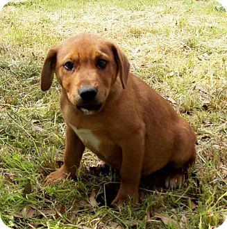 Labrador Retriever/Hound (Unknown Type) Mix Puppy for adoption in Glastonbury, Connecticut - GUMBO