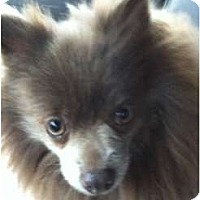 Adopt A Pet :: AMBER - Glenpool, OK