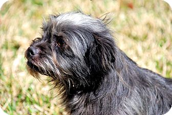 Shih Tzu/Chihuahua Mix Dog for adoption in Dallas, Texas - Mallee