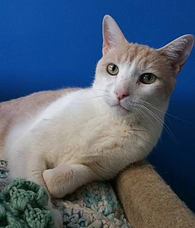 American Shorthair Cat for adoption in Los Angeles, California - Tirza