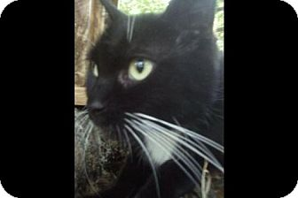 Domestic Shorthair Cat for adoption in New Bedford, Massachusetts - Lucy