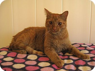 Domestic Shorthair Cat for adoption in Redwood Falls, Minnesota - Murphy