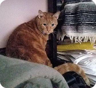 American Shorthair Cat for adoption in Baltimore, Maryland - Hershel (& Tasha)