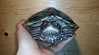 Turtle - Other for adoption in Markham, Ontario - Tortuga