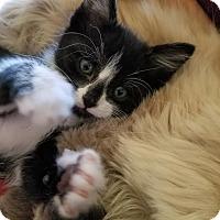 Domestic Shorthair Kitten for adoption in Alamo, California - Mufasumi