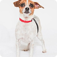 Terrier (Unknown Type, Small) Mix Dog for adoption in Jupiter, Florida - Bongo